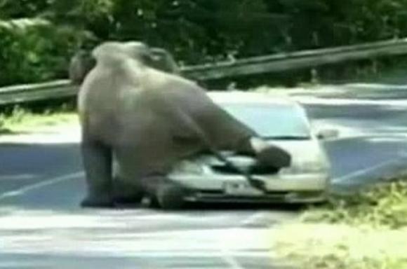 【動画あり】発情期のゾウが車と交尾しようとしたらこうなった