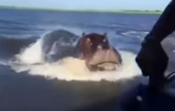 【動画あり】カバってこんなに速かったの!? 人間の乗るボートを追いかけるカバが想像以上に怖い!