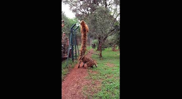 【予想外動画】トラのジャンプ力はメチャすごい