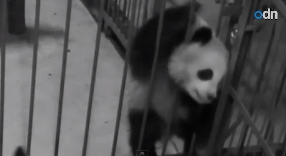 【危機一髪動画】絶体絶命! 鉄格子の隙間から頭が抜けなくなったパンダを救え!!