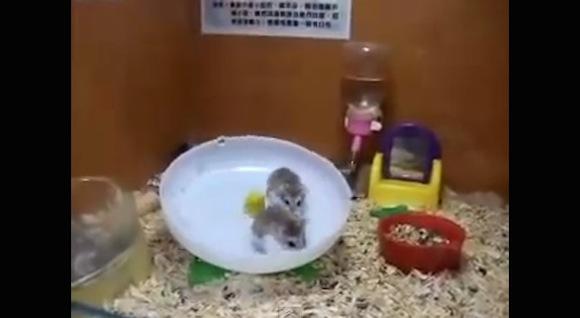 【笑劇動物動画】ハムスターが2匹同時に回し車へ入るとスゴいことになる