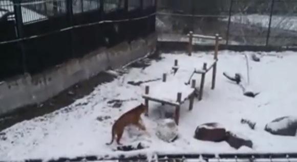 【衝撃動物動画】雪だるまを作るトラが激撮される