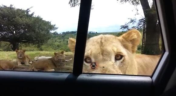 【衝撃動画】サファリパークでライオンを撮影していた時に起きた予想外のハプニング