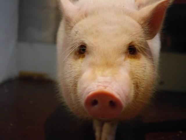 【金沢】ミニブタが店長の豚肉料理店に行ってみた! やっぱり豚肉料理は香ばしくてウマシ!!