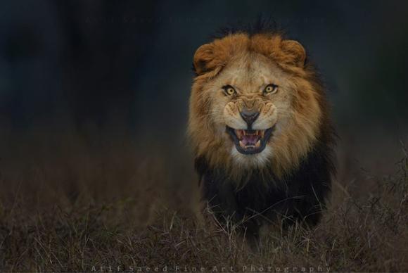 【衝撃画像】激高したライオンがこっちに向かってくる姿が猛烈にヤバイ! 確実に「死」を覚悟するレベル