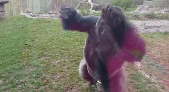 【衝撃動物動画】恐怖! ゴリラの猛烈な体当たりで動物園の仕切りガラスにひびが入る事件が発生!!