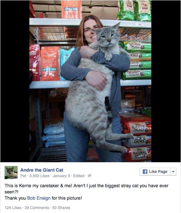 """ネコ界の """"アンドレ・ザ・ジャイアント"""" ! 12kgの巨体を生かし他のワンコ&ニャンコをお助けニャ / ハイブリッド・キャットの可能性も"""
