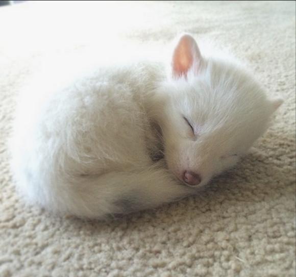 【キュン死警報発令】まるで天使! 真っ白いキツネの赤ちゃんが可愛いすぎてメロメロになっちゃう件