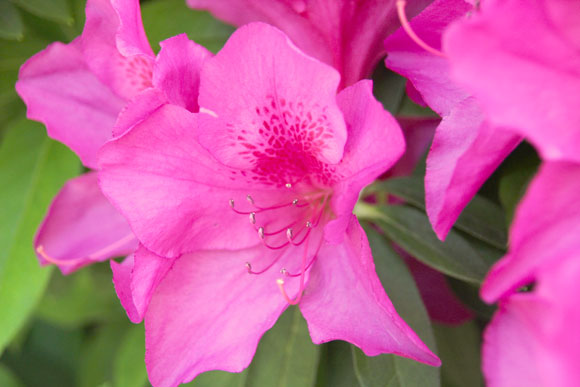 【懐かしい味】ジャスミン茶に砂糖を入れると「つつじの花の蜜」みたいな味になる / みんなよく吸ってた濃いピンクの花の蜜
