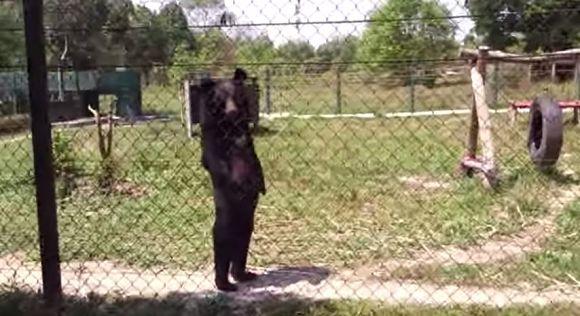 """【三度見レベル】その """"人間っぽさ"""" 予想以上!  ナイスな二足ウォークを見せつけるクマが激撮される!!"""