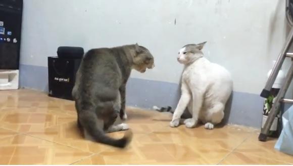【仁義なきニャンの戦い】パンチが速すぎて見えない!! ネコ同士の喧嘩動画がハンパない迫力 / でも笑っちゃうのはナゼ?