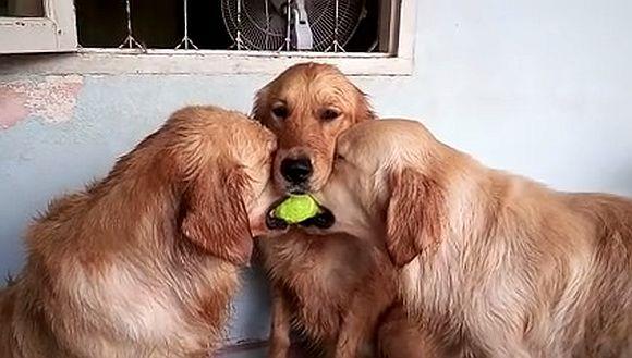 テニスボールを奪い合うワンコの間に第3のワンちゃんが登場! 「まるで審判のような態度」がカワいすぎてキュン死寸前レベル!!