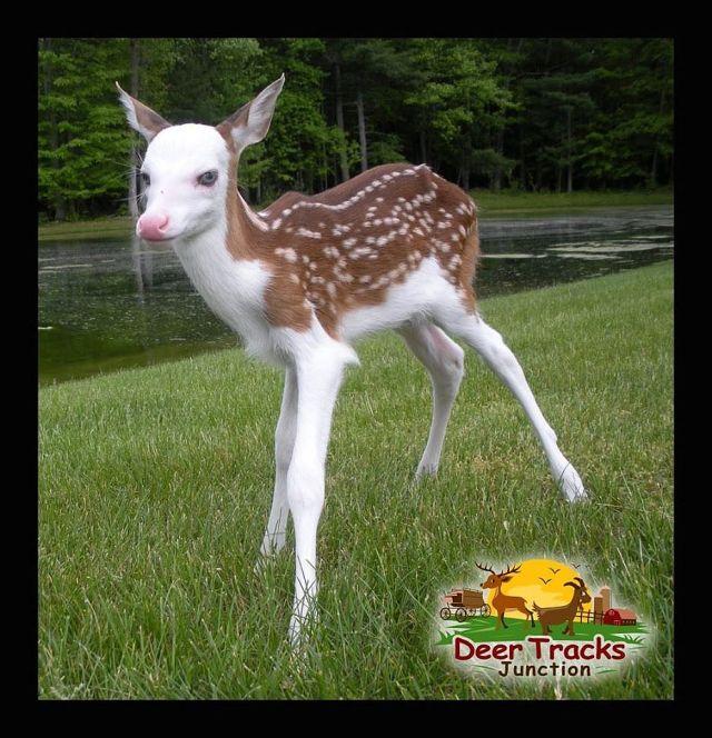 特異な風貌で母親に捨てられた小鹿「ドラゴン」 が美しすぎる!! 青い瞳に白い毛並がファンタジー映画のキャラクターのよう!