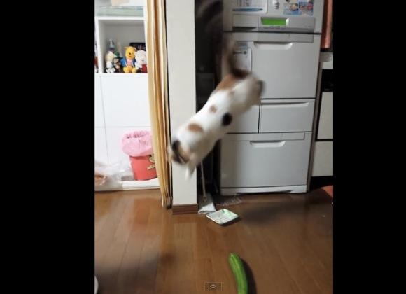 【動画】ビックリしすぎ! 背後のキュウリに気付いたネコの驚きっぷりがハンパない!!