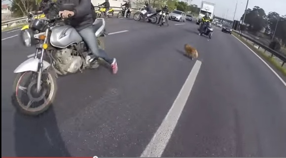 これぞ『神連携プレー』! 高速道路で逃げ出した犬をバイク集団が救出!! その見事なチームワークに拍手喝采