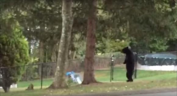 【動画あり】完璧な二足歩行をするクマが激撮される