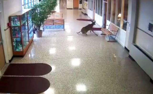滑り過ぎだろ!! 中学校に乱入したシカが「床がツルツルすぎて立ち上がれず」職員が大わらわに!