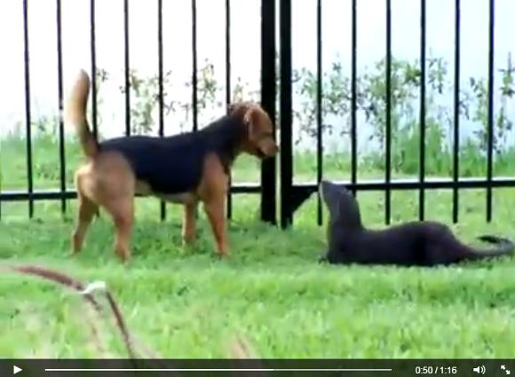 【レア動画】犬の本当の親友は 「カワウソ」 だった! ツンデレなカワウソと犬が無邪気にジャレ合いまくる / これはまさに種を超えた真の友情や!!