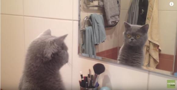 【動画】このステキなニャンコは誰? 鏡に映る自分から目が離せない猫