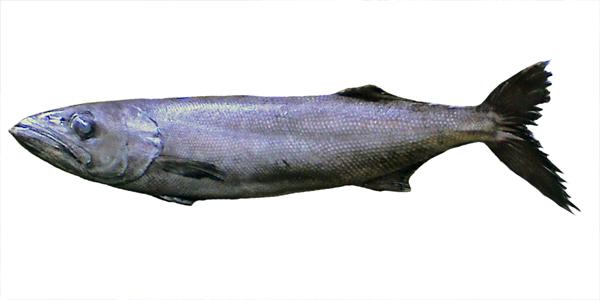 """【衝撃】中国で """"天然鮭"""" を食べたら肛門から油が止まらなくなる事案発生 / 食品偽装の疑い! 近年多発か"""