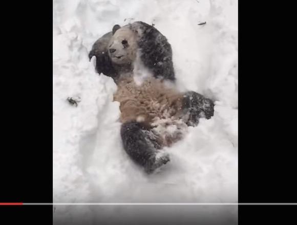 【動画あり】雪で遊ぶパンダが悶絶するくらいキュートでキュン死する人が続出中