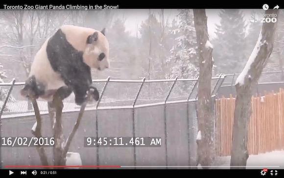 【世界一かわいいよ】雪で遊ぶパンダがメガトン級の破壊力! あまりにキュートすぎてキュン死に追い込まれる人が続出中