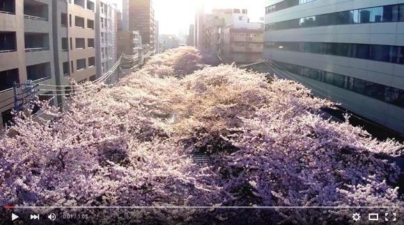 【全画面表示推奨】鳥の気分で「満開の桜」を楽しむ動画が美しすぎる! 海外からも感動の声が
