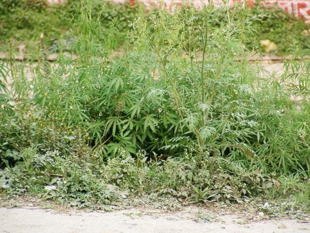 「未成年のスノボ日本代表ら2選手が大麻を使用」の件ついてドラッグ事情通に意見を聞いてみた
