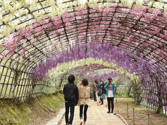【期間限定】人生で一度は見るべきと噂の絶景『河内藤園』に行ってみた / 福岡県北九州市