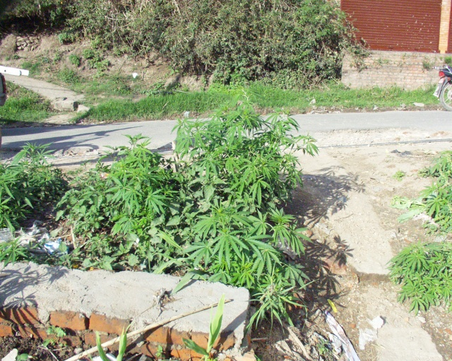 カナダ大麻合法化についてドラッグ事情通に意見を聞いてみた