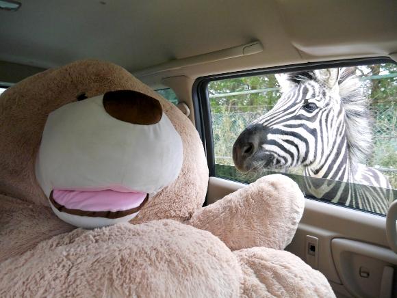 【史上初?】クマのぬいぐるみを着て「サファリパーク」に行ってみた / 通常の100倍くらい楽しかったクマー