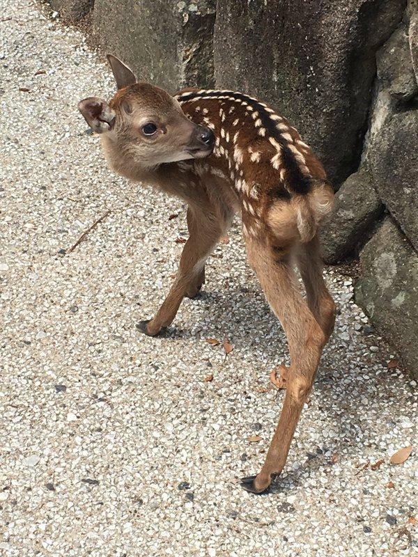 """【注意喚起】「観光地で """"生まれたての小鹿"""" を見ても絶対に触らないで! 死んじゃう可能性もあるんだよ!!」というツイートが拡散"""