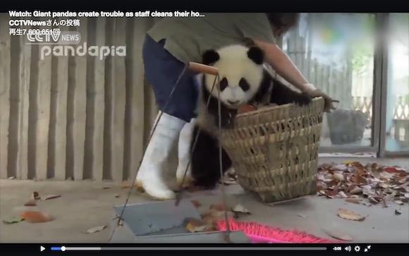 【リピート不可避】飼育員と格闘する子パンダが激カワ! あまりの破壊力にキュン死する人が世界で続出