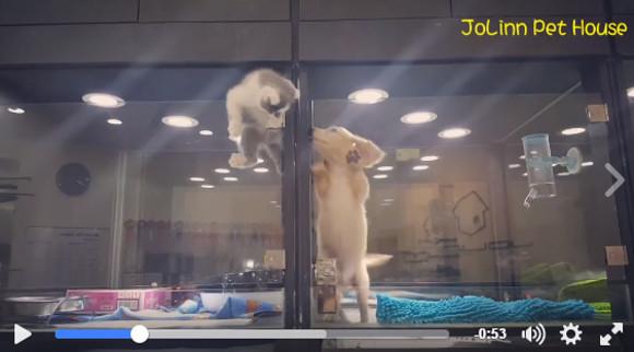 【動画】「いま会いに行くニャー!」大好きなワンコと遊びたい子ネコの大脱出劇が応援せずにはいられない可愛さ!!