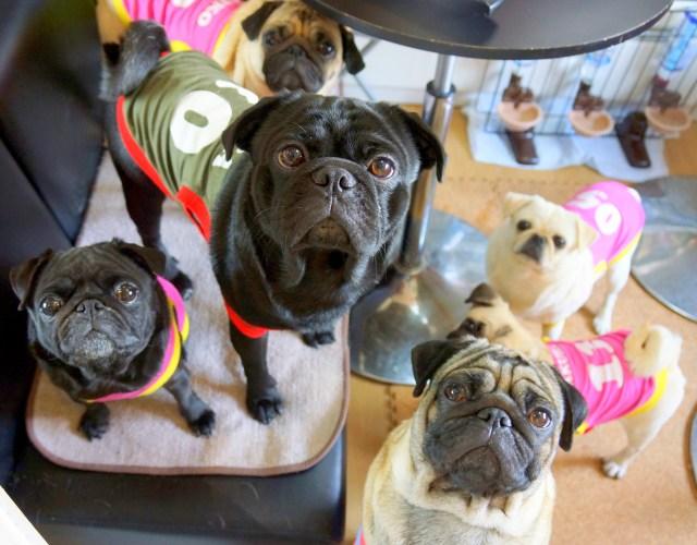 【キュン死注意報】パグ好き必見! 11匹のパグが出迎えてくれる犬カフェ「リビングルーム」が素敵空間すぎる!!