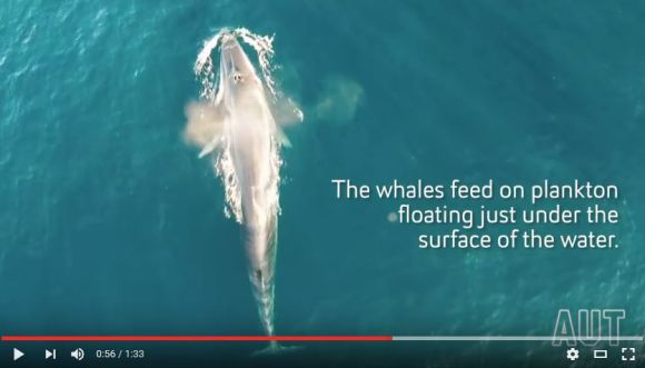 小型無人機ドローンが超レアなクジラの姿を激撮! 自然の雄大さに胸が締め付けられる思いに