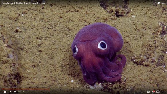 【ゆるキャラかよ】アメリカの深海で撮影された「タコのようなイカ」が可愛すぎると話題