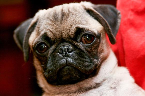 """英獣医らが「パグなどの短頭犬を買ってはいけない」と警鐘を鳴らす / その理由は """"より犬を苦しめることになる"""" から"""