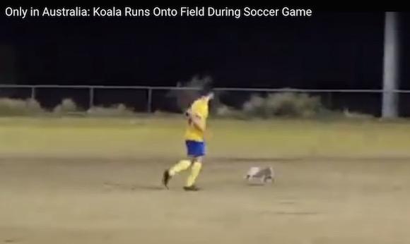 【動画】コアラがサッカーの試合に乱入 → あまりのかわいさに観客は萌えまくり