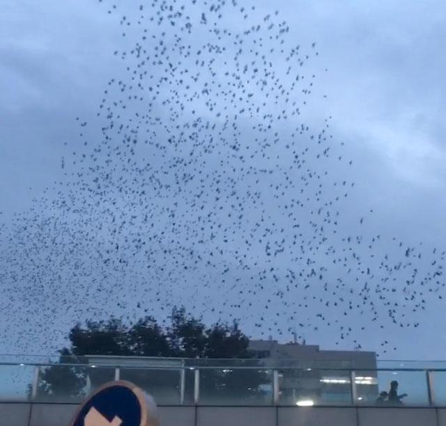 【恐怖】群馬県高崎駅前に大量のムクドリが飛来! セミが鳴くように鳥の鳴き声が響く