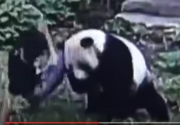 「パンダ vs 悪ノリ男」の異種格闘技戦が中国で勃発! レスリングのような展開からまさかのKO劇