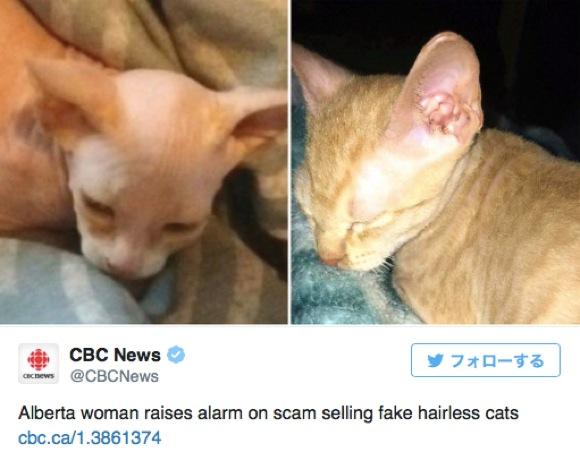 """【ネコ詐欺】毛を刈っただけの普通の猫を """"無毛種"""" だと偽る詐欺が発生 / 愛護団体が「動物が育った環境をきちんと見て」と訴える"""