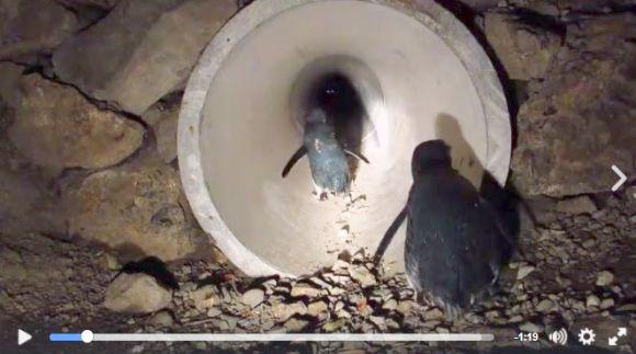 ペンギン専用のトンネルがニュージーランドに開通! ヨチヨチ歩きでトンネルを通り抜けるペンギンが超キャワワ~!!