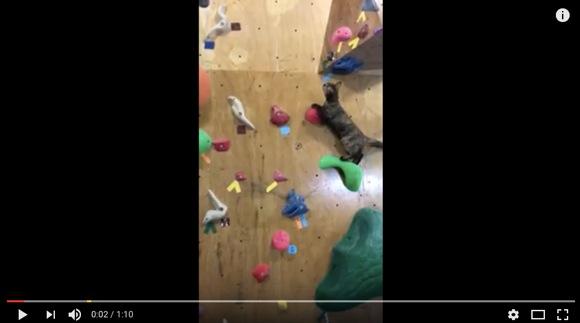 """ボルダリングだってできるニャ! テッペン目指して壁登る """"沖縄のネコ動画"""" に世界から注目集まる"""
