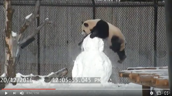 パンダ、雪だるまを破壊するだけなのにマジカワイすぎ