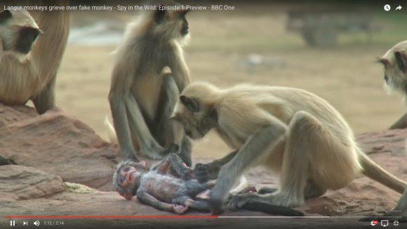 【動画】ロボット猿の死を悲しむ「本物の猿達の姿」が切なすぎてツラい
