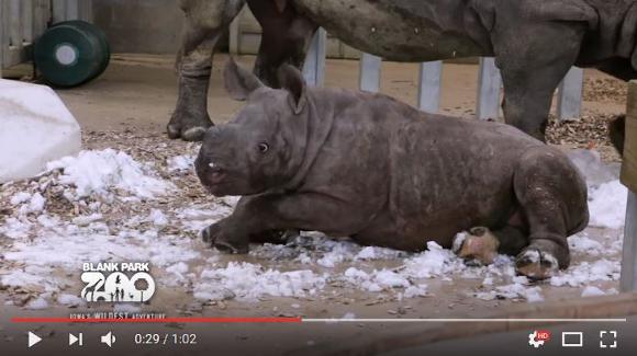 【キュン死注意】初めて雪に遭遇したサイの赤ちゃん! 夢中で突撃する姿に爆萌え必至!!