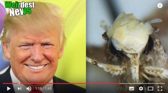 トランプ氏にソックリ!? 新種の蛾が「ドナルド・トランピ」と名付けられる / 頭部を見比べてみて!