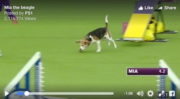 【動画あり】障害物競技にイマイチ集中できないビーグル犬がカワイすぎて観客の心をつかみまくり