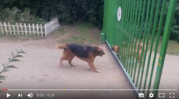 【まるでネット民のケンカ?】犬同士がゲート越しに吠えまくる → いざゲートが開くとめっちゃ弱腰って動画が「ネットにもこういう人いる」と話題